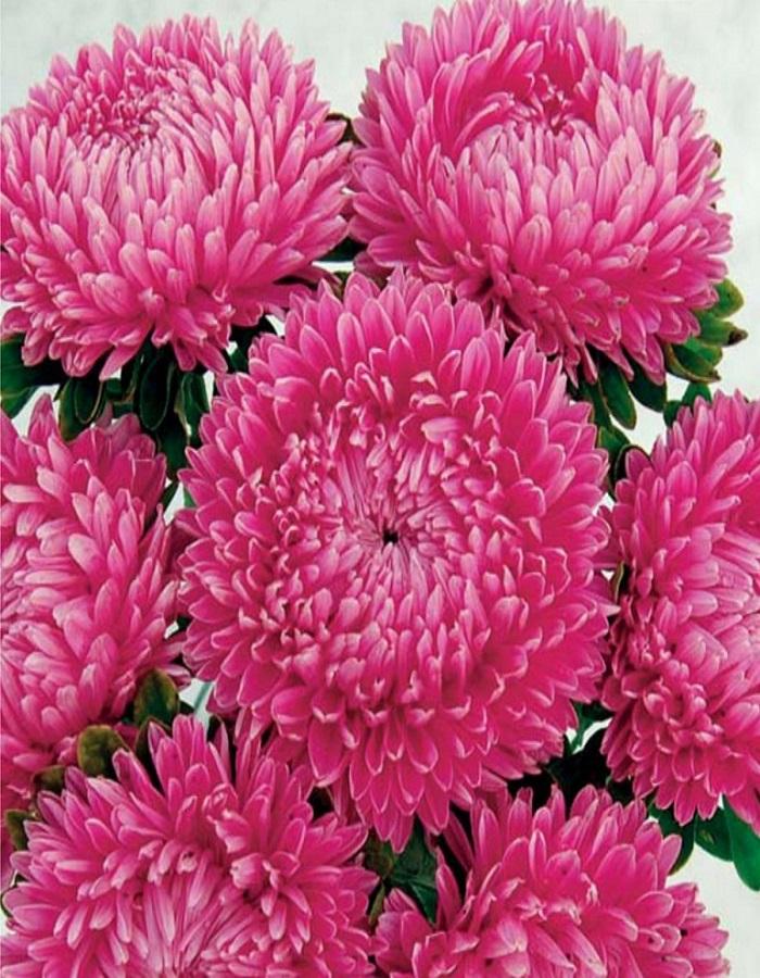 Астра Леди Корал  темно-розовая  0,1 гр