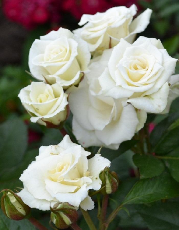 Роза спрей Вавиана 1шт. ОКС
