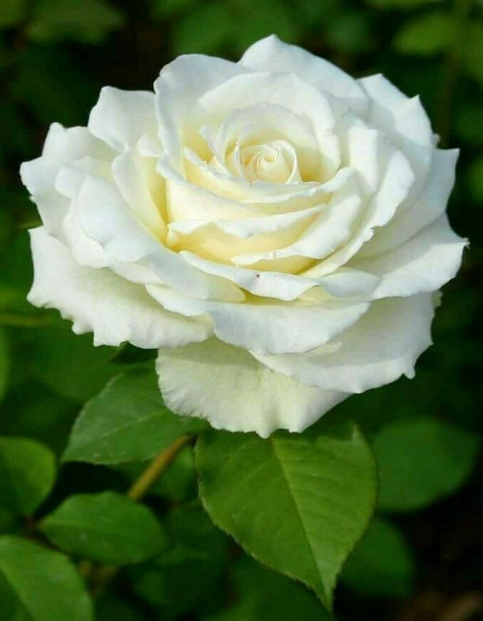 Роза чайно-гибридная срезка Аваланж 1 шт. ОКС