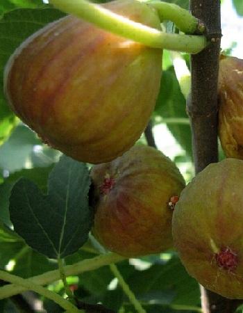 Инжир Турецкий коричневый 2-3 года ЗКС с2