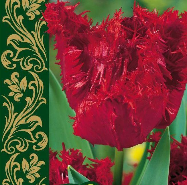 Тюльпан Барбадос 1 уп. (1шт.)