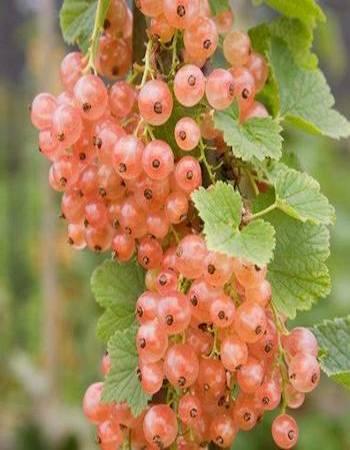 Смородина цветная Голландская розовая (Ribes rubrum) 1 шт ОКС