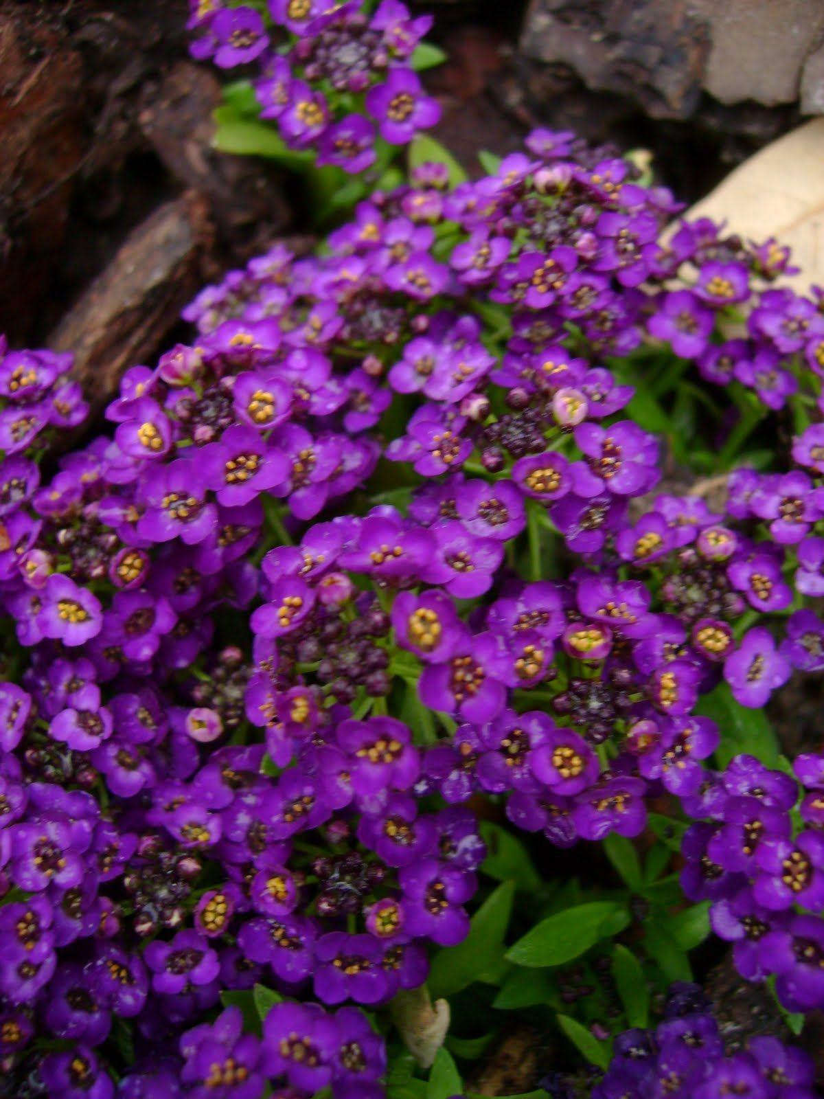 Алиссум Виолет квин цв/п  0,25гр