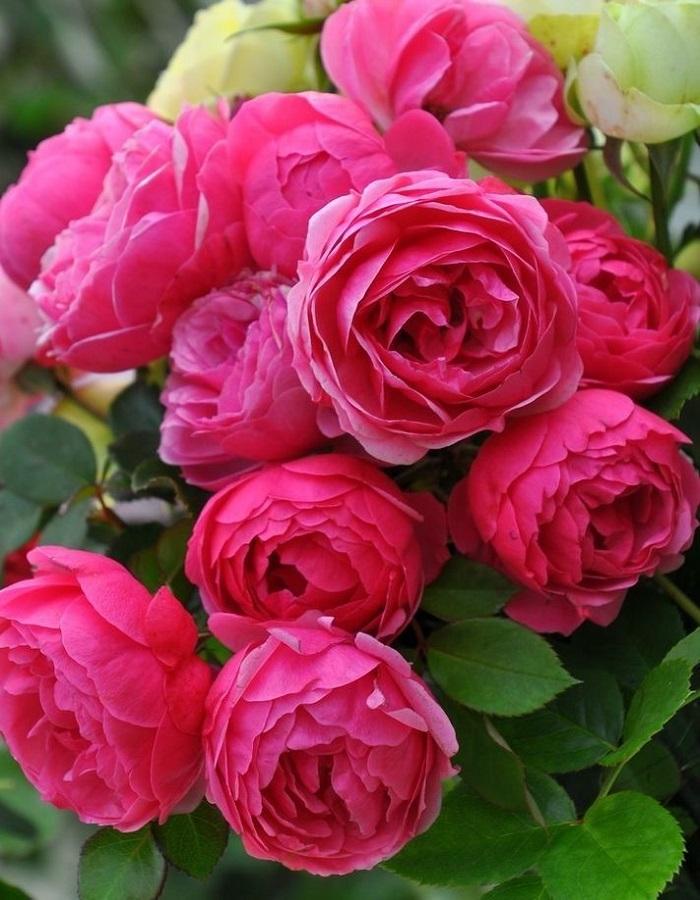 Роза флорибунда Помпонелла 1 шт ОКС
