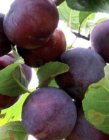 Слива Этюд (Prunus domestica) 1 шт ОКС