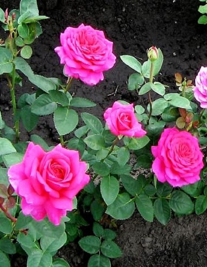 Роза чайно-гибридная Карина 1шт. ОКС