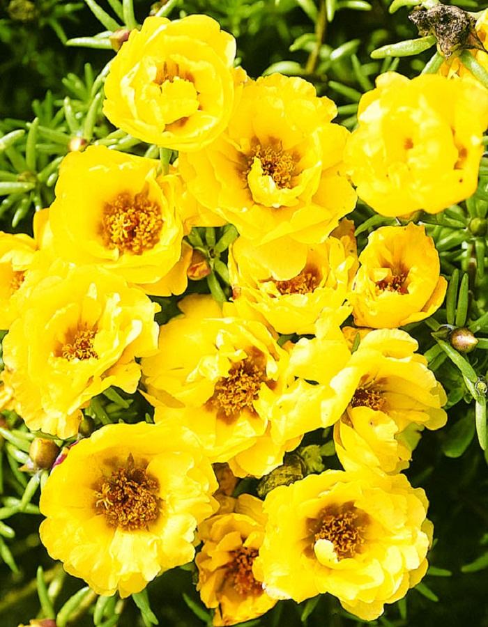 Портулак крупноцветковый махровый Солнечный блик  0,2 гр