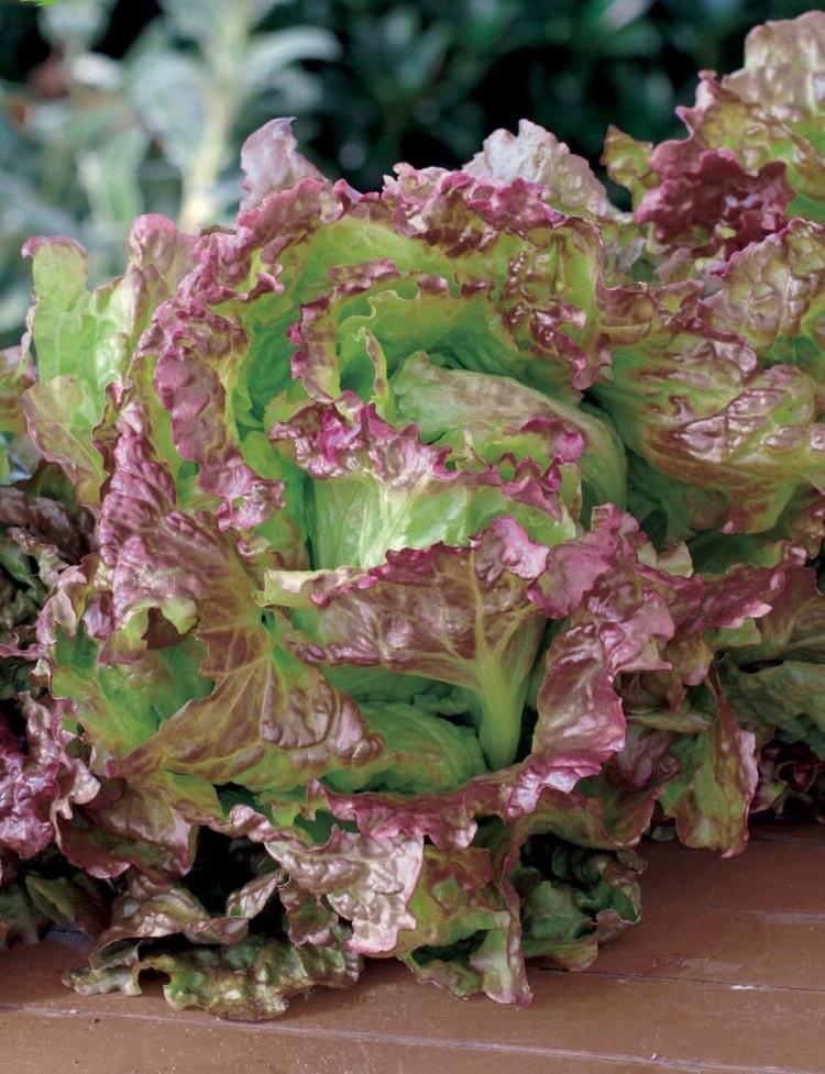 Салат Аврора 0,5 гр цв.п
