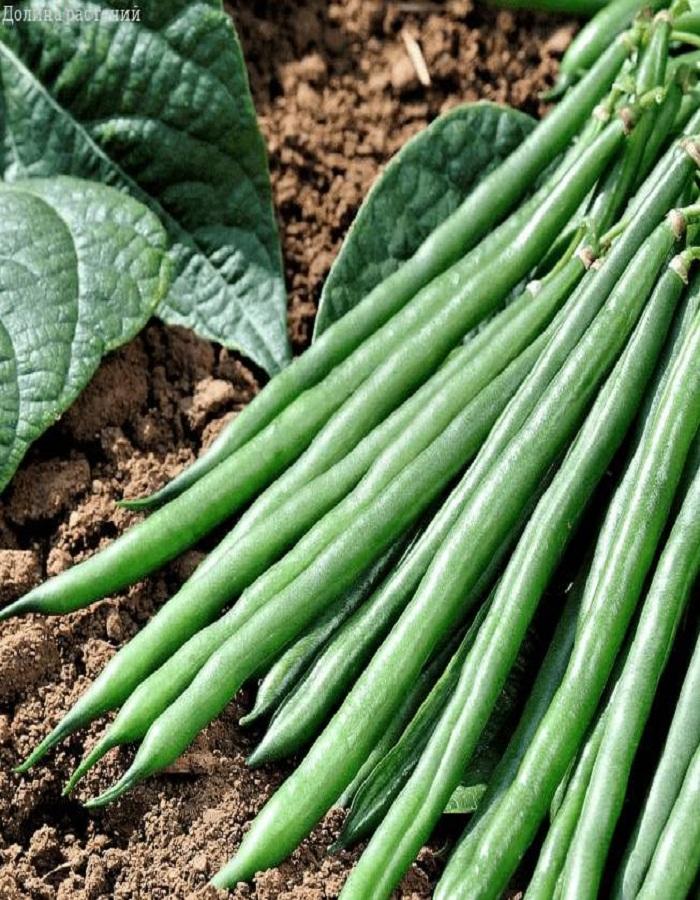 Фасоль овощная  московская белая зеленостручная  556   5 гр  б.п