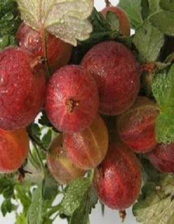 Крыжовник обыкновенный  Краснославянский (Ribes uva-críspa) 1 шт ОКС