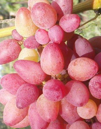 Виноград плодовый Арго 1 шт ЗКС р9