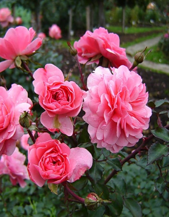 Роза флорибунда Боника 1 шт. ЗКС
