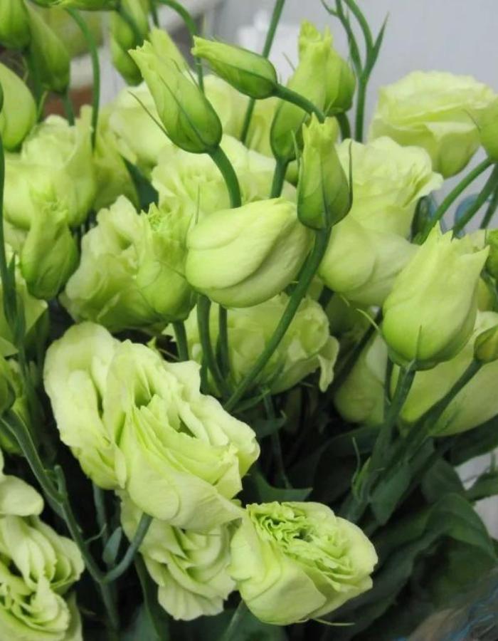 Эустома (лизиантус) крупноцветковая Супер Мэджик Зелёная (Vita Green) 8 шт.