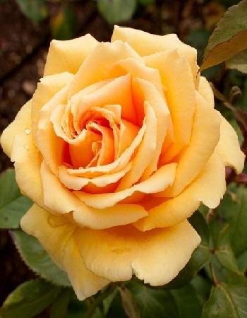 Роза чайно-гибридная Валенсия 1 шт ОКС фото