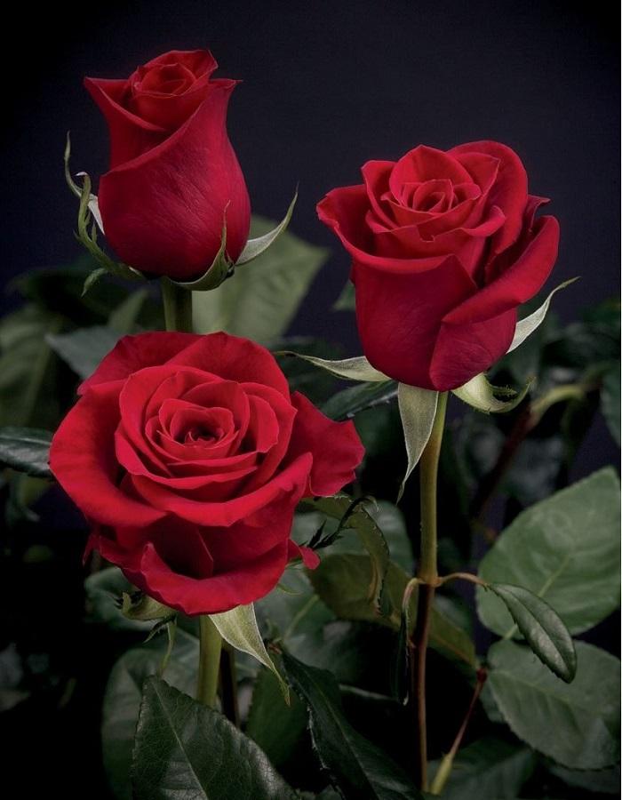 Роза чайно-гибридная Эксплорер 1 шт ЗКС